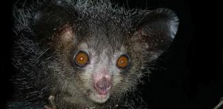Aye-aye (Daubentonia madagascariensis), Madagascar