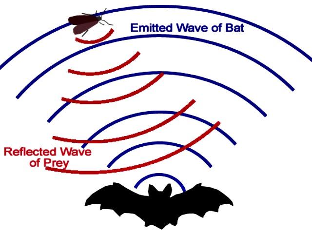 Bat_echolocation