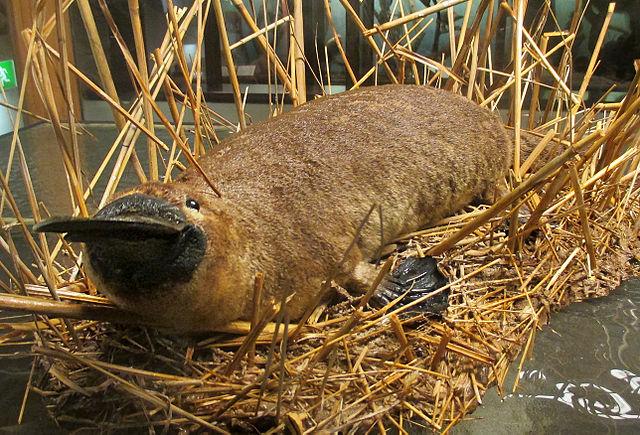 Duck Billed Platypus F...