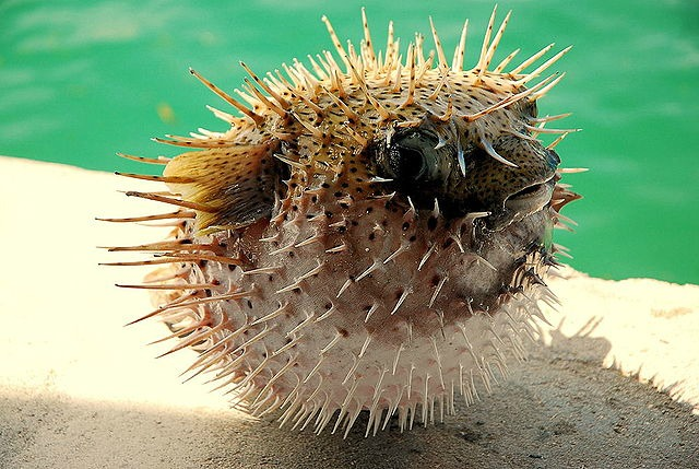 Puffed_up_Pufferfish