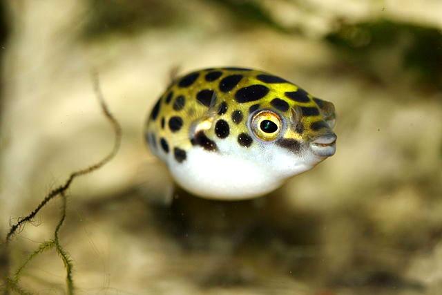 Spotted_green_puffer_Tetraodon_nigroviridis