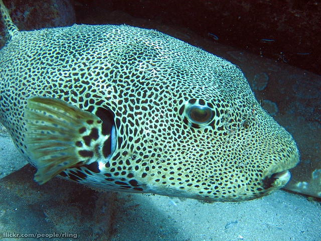 Top 10 facts about pufferfish fun facts you need to know for Amazon puffer fish