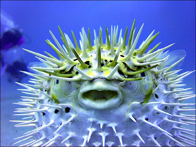 http://ipfactly.com/wp-content/uploads/2012/12/The_Puffer_Fish.jpg