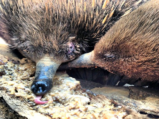 Long Beaked Echidna Facts Fun Facts You Need To Know