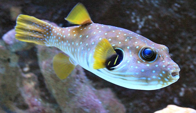 Top 10 facts about pufferfish fun facts you need to know for Types of puffer fish