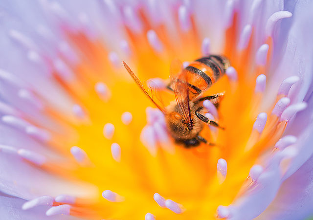 African killer bee entering center of blue water lilly by Hein waschefort cc3.0