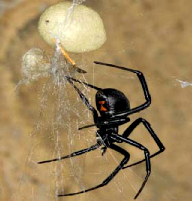 Blackwidow_eggsac_silk