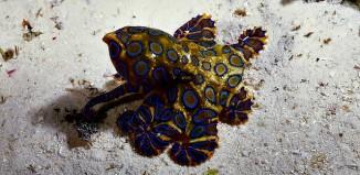 Blue-Ringed Octopus, Mabul Island, Malaysia