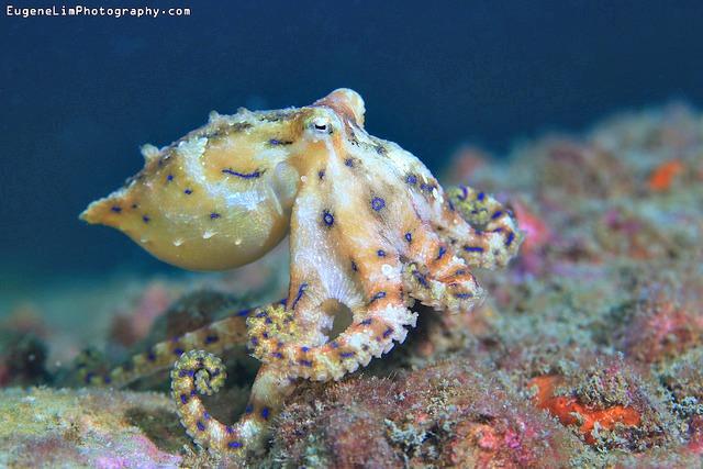 Blue Ringed Octopus, Sai Kung, Hong Kong