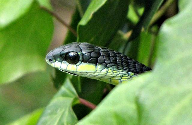Boomslang_-_Western_Cape