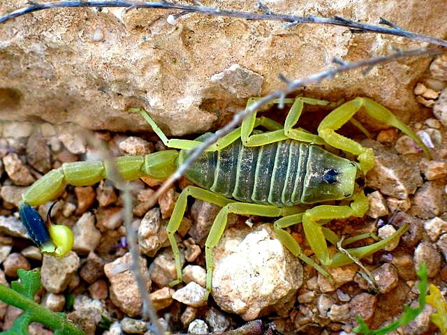 Deathstalker Scorpion Facts | Fun Facts You Need to Know!