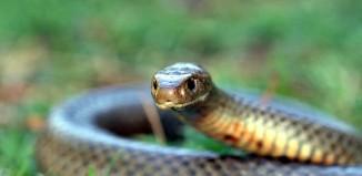 Eastern_Brown_Snake_Pseudonaja_textilis