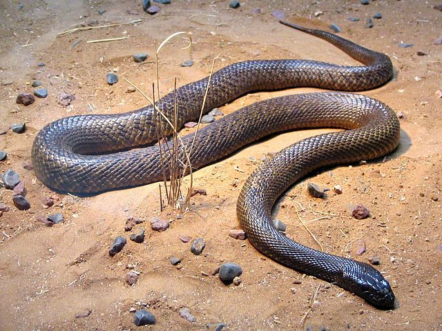 Fierce_Snake-Oxyuranus_microlepidotus
