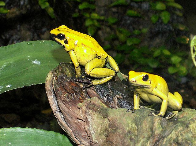Goldener Giftfrosch (Phyllobates terribilis)