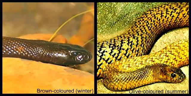 Inland_Taipan_Fierce_Snake_color