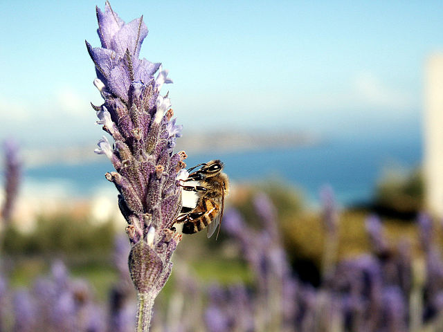 Killer Bee over Lavanda bush at Puerto Velero (Chile) by Jose Manuel Podlech cc2.0