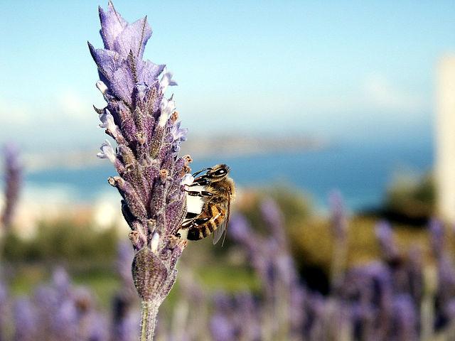 Killer Bee over Lavanda bush at Puerto Velero (Chile) by Jose Manuel Podlech cc2.0