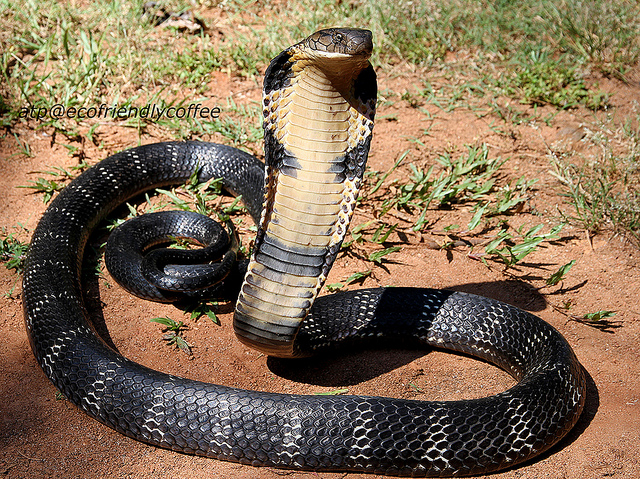 12 Facts About King Cobras