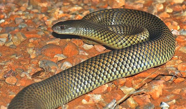 King_brown_snake_Pseudechis_australis_ugmedia