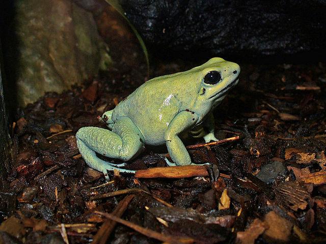 Mint green morph