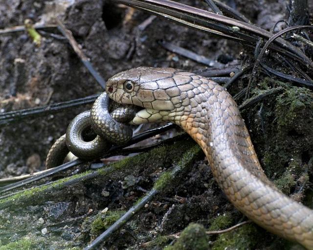 Predator King Cobra