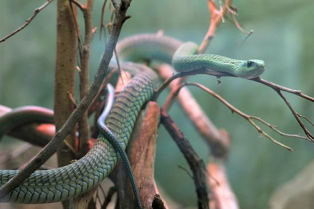 boomslang tree snake