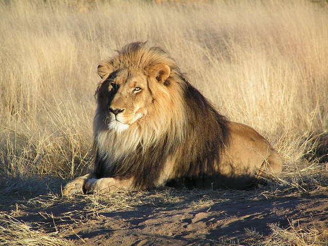 Lion Drinking Water