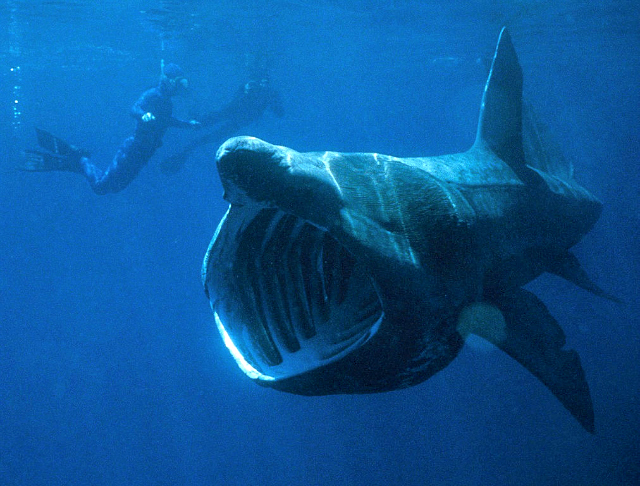 A basking shark filter feeding