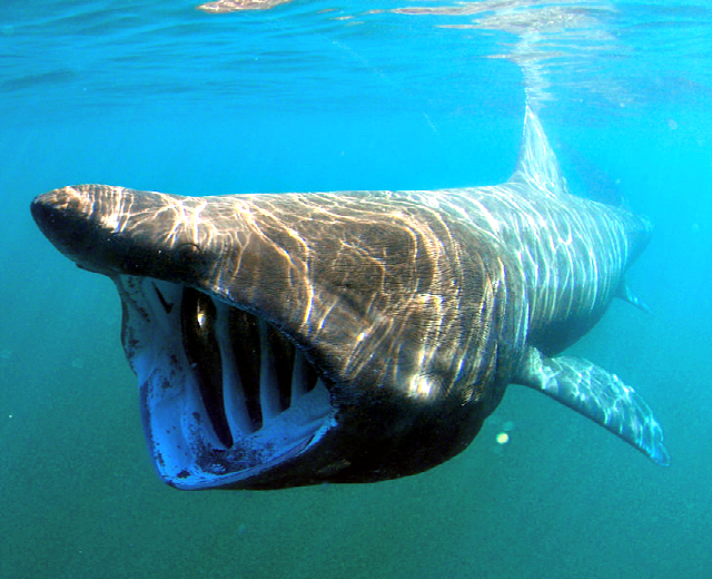 an analysis of the sluggish monster cetorhinus maximus the basking shark The plesiosaur that survived until 1977 and the tissue analysis would be key to prove it was a shark basking shark (cetorhinus maximus) four big fins, long.