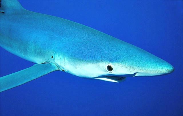 Blauhai blue shark