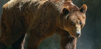 Brown Bear at the Buenos Aires Zoo