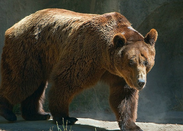 Brown Bears | Fun Facts You Need to Know! - photo#38