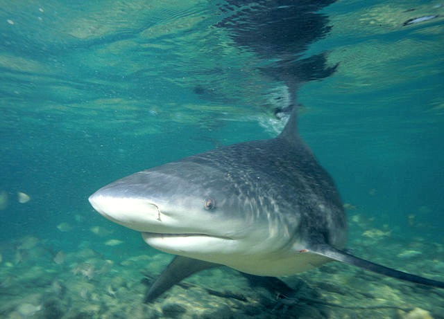 10 interesting facts about bull sharks fun facts you need to know