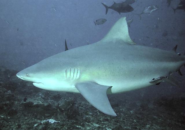 Bullshark_Beqa_Fiji_2007