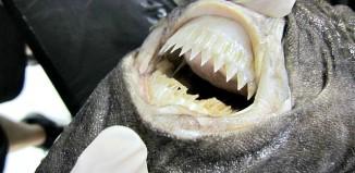 Cookie Cutter Shark teeth