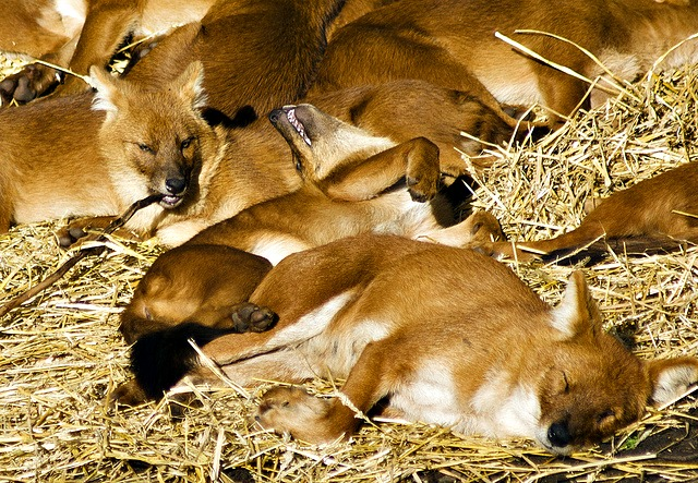 Dhole pack