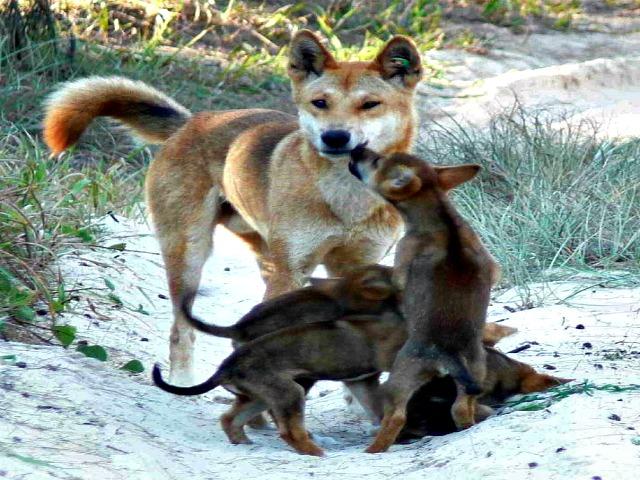 Dingo pack