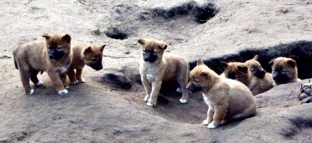Dingo_pups