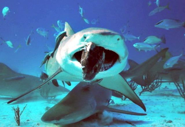Feeding_Lemon_shark