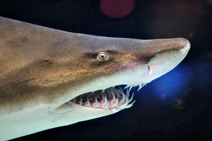 Grey_nurse_shark