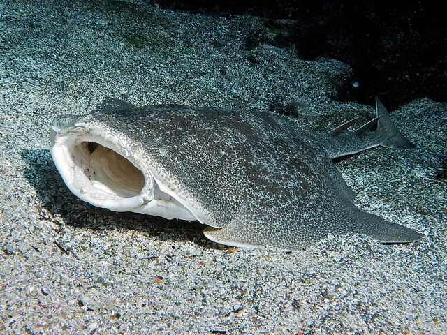 Japanese angel shark