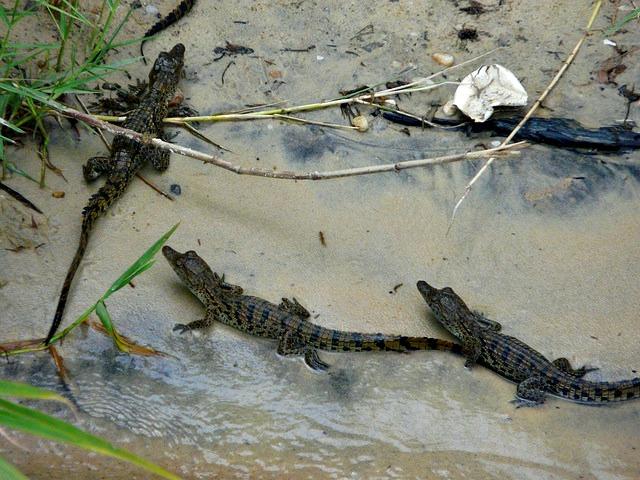Juvenile_Nile_Crocodiles