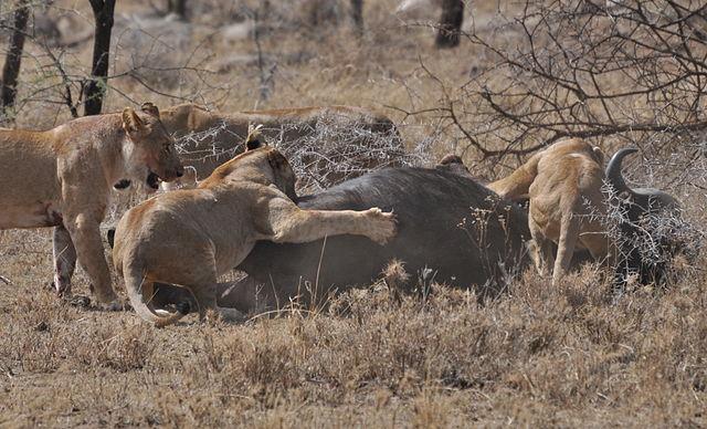 Lions_taking_down_cape_buffalo