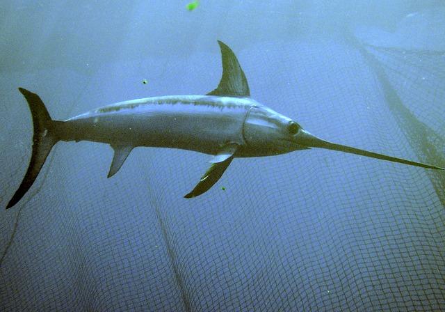 Mediterranean_sword_fish