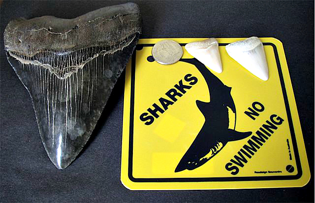 Megalodon tooth great white shark teeth