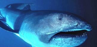 Megamouth_shark