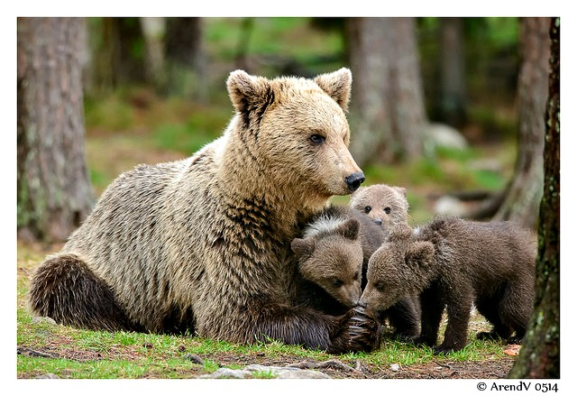 Mother bear and 3 cubs