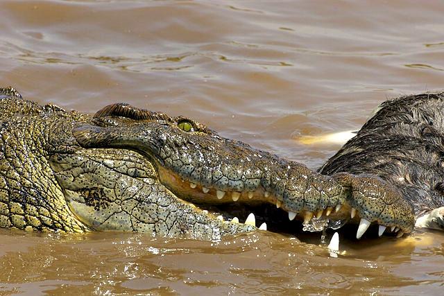 Nile_Croc_eating