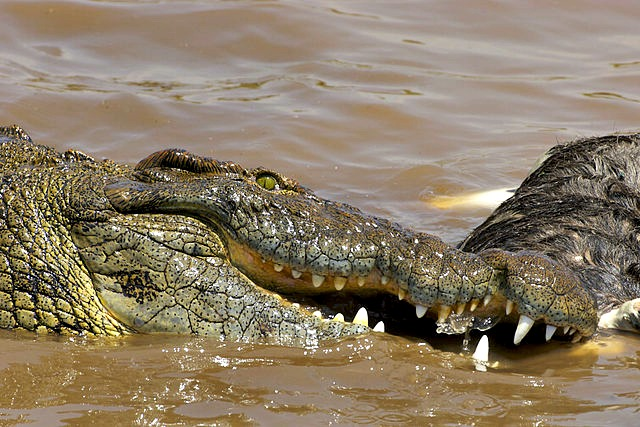 Nile_Croc_eating