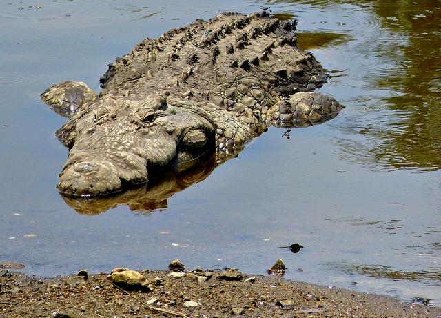 Nile_Crocodile_Crocodylus_niloticus